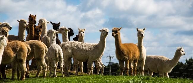 Alpaca Open Weekend