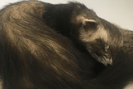Introduction to Taxidermy: Introduced small pest species