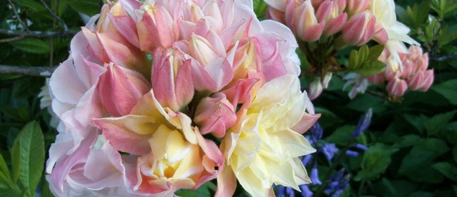 Rhododendron 50th Anniversary Event
