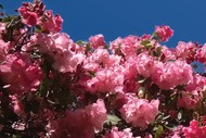Rhododendron Day Plant Sale: CANCELLED