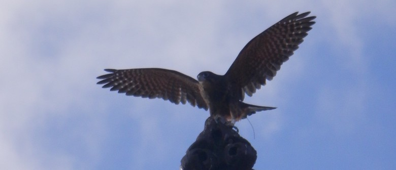 On the Wing - Urban Release of The New Zealand Falcon