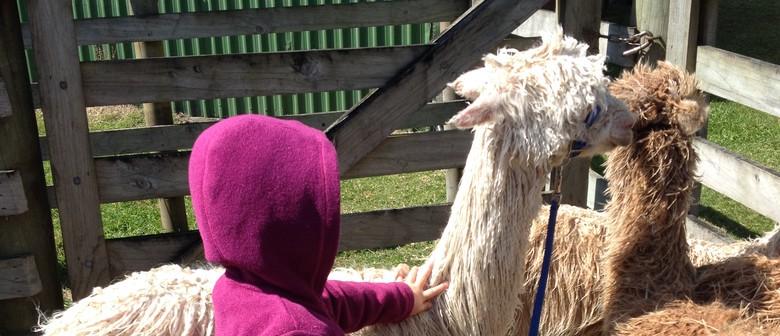 Alpaca Open Day - Hacienda Suri Stud