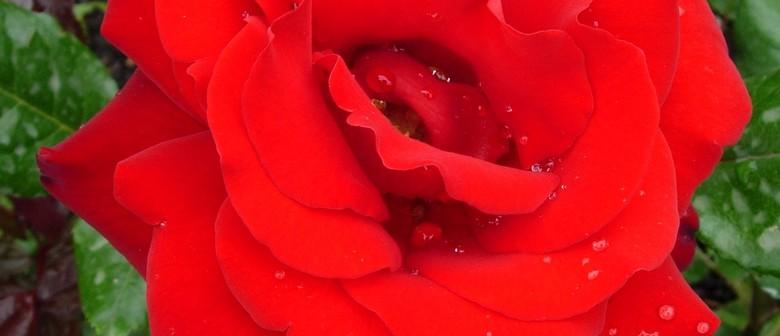 Autumn Rose Show and Rose Ranfurly