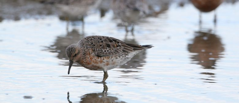 Talk; Wading Birds – Red Knot Sandpiper