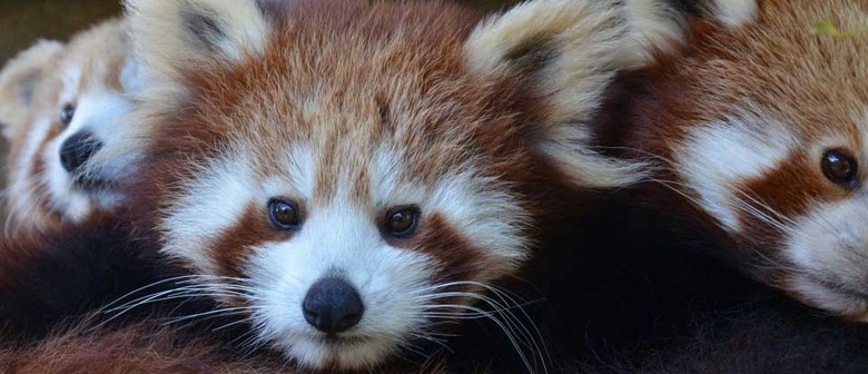 Red Panda Weekend