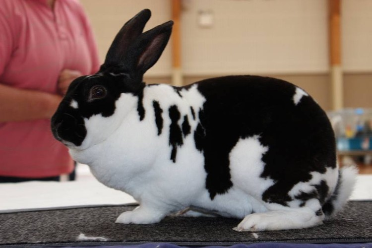 Image result for show Rabbit