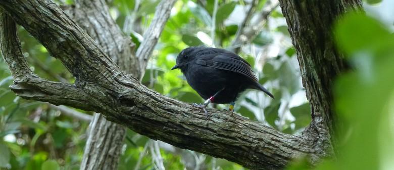 Hihi's to Black Robin
