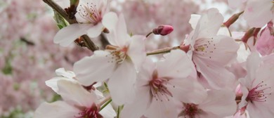 Image result for Cherry Blossom Festival 2017 Nelson